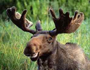 Image result for moose canada